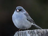 _1100313_Dark-eyed junco_1988x1491