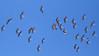 _2100009 Sandhill Cranes_3840x2160_1920x1080
