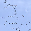 _2110004 Migrating Sandhill Cranes in blue_4001x3706_Crop_1988x1987