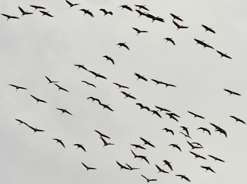 _2110006 Migrating Cranes_4468x3321