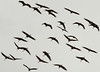 _2110006 Migrating Cranes_4468x3321_Crop_2040x1466