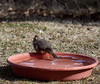 _2180104 Canyon Towhee taken a bath • Speed 5,000s_1988x1673