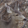 _2180065 Deer Head Portrait_2120x2120