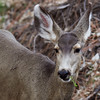 _2180049 Deer portrait chewing_2160x2160