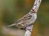 _2180782 White-crowned Sparrow_1000x750