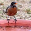 _2270485 American Robin on water dish 1_2900x2900