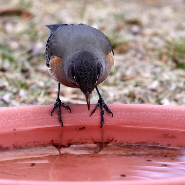 _2270498 American Robin on water dish 2_2900x2900