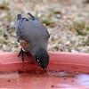 _2270489 American Robin on water dish 3_2900x2900