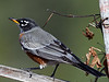_2270032 American Robin on Trellis_2650x1988