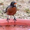 _2270485 American Robin on water dish 1_2900x2900_1988x1988