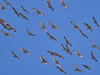 _3040455 Migrating Sandhill Cranes_5016x3762