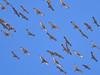 _3040455 Migrating Sandhill Cranes_5016x3762_brighter