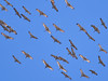 _3040455 Migrating Sandhill Cranes_5016x3762_brighter