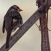 _3050251 White-crowned Sparrow on Trellis_1500x1500