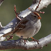 _3050132 White-crowned Sparrow_1100x1100