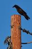 _3150242 Raven on Power Pole