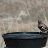 P3180032 Northern Flicker at the water dish 1m 31s