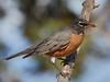 P3180038 Robin