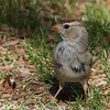 P3180070 White-crowned Sparrow