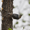 _3221121 White-breasted nuthatch stretched_2800x2800_1400x1400