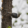 _3221121 White-breasted nuthatch stretched_2800x2800