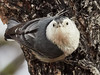 _3220650 White-breasted nuthatch looking up_1500x1125