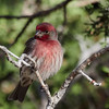_3250490 House Finch, male_1800x1800