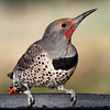 _3251681 Northern Flicker, male_2200x2200