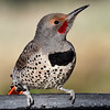 _3251889 Northern Flicker, male_2200x2200