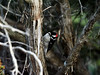 _3250314 Downy Woodpecker_5184x3888