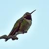 _5218950 Hummingbird_3000x3000