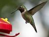 _DSC1054 Hummingbird_2547x1910