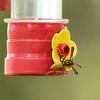 _DSC0346 Wasp on Sugar Feeder_1500x1500
