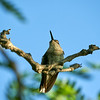 _DSC67177 Hummer on Perch_3100x3100