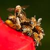 _DSC9012 Bees 1600x1600 ARW