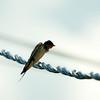_DSC0519 White-throated swift_1988x1988
