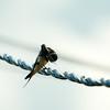 _DSC0515 White-throated swift_1988x1988