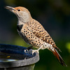 _DSC7373 Northern Flicker_3257x3257_2160x2160