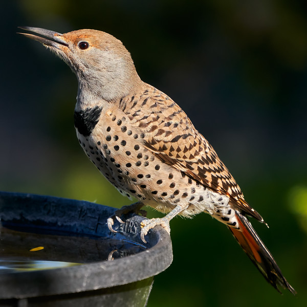 _DSC7373 Northern Flicker_3257x3257
