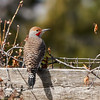 _DSC5844 Northern Flicker_1200x1200