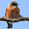 _DSC5924 Bluebird_805x805