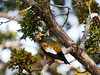 _DSC4326 Evening Grosbeak_4133x3100
