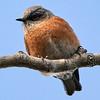 _DSC5916 Bluebird_805x805