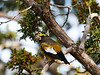 _DSC4326 Evening Grosbeak_4133x3100_2880x2160