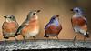 _B199763 Bluebird Mugsho_5184x2916t