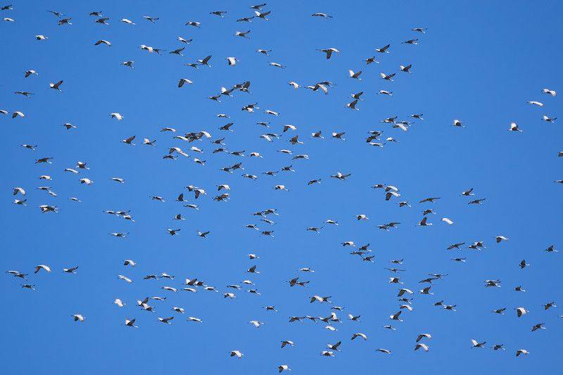 DSC07548 Migrating Sandhill Cranes_3936x3624