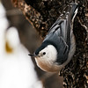 DSC08875 White-breasted Nuthatch_1700x1700