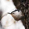 DSC08882 White-breasted Nuthatch_1700x1700