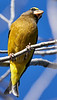 DSC03599 Evening Grosbeak_2144x3781