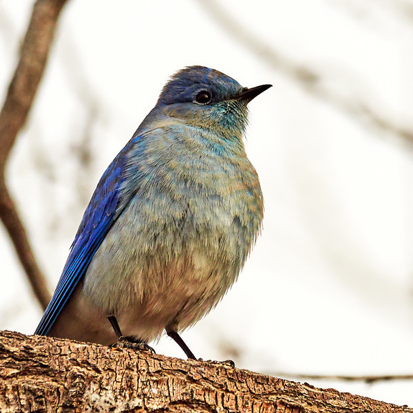 _C142755 Mountain Bluebird_1800x1800